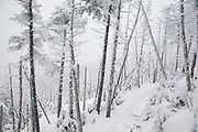 Snow covered softwood forest along the Willey Range Trail in the White Mountains, New Hampshire USA during the winter months