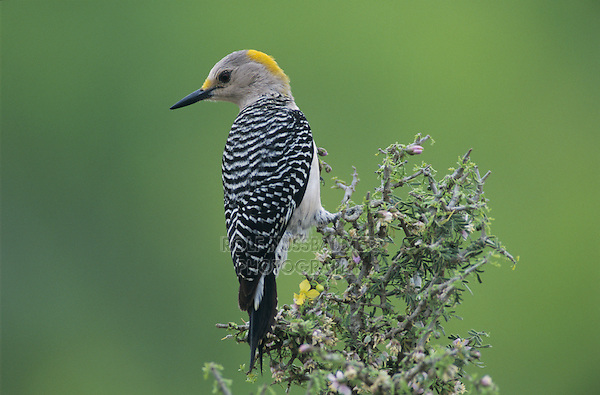 Golden-fronted Woodpecker, Melanerpes aurifrons, female, Willacy County, Rio Grande Valley, Texas, USA, May 2004