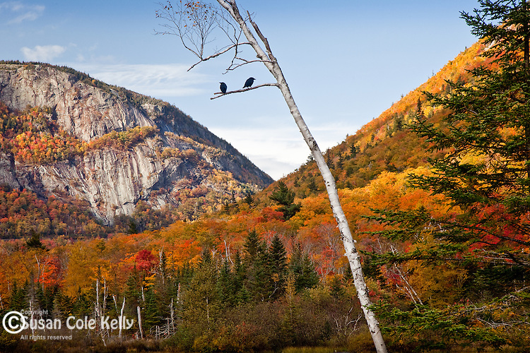 Two crows admire the fall foliage on Mt Willard, Crawford Notch State Park, White Mountains, NH, USA