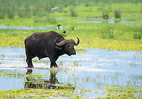 A Cape Buffalo, Syncerus caffer caffer, walks through a marsh as three Red-billed Oxpeckers, Buphagus erythrorhynchus, approach to land on its back. Lake Manyara National Park, Tanzania.