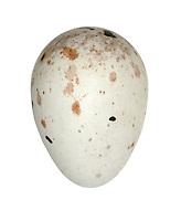 Lesser Redpoll egg - Carduelis flammea