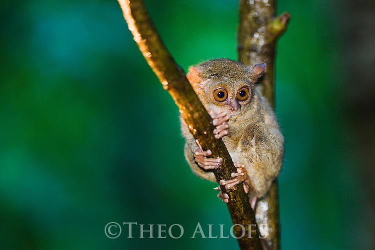 Sulawesi tarsier in tree (Tarsius spectrum), world's smallest primate, intermediate between lemurs and monkeys, Indonesia, Sulawesi, vulnerable species, threatened through loss of habitat