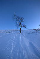 Moon on a winter tree,måne,bjørk, Home decor, Trond Are Berge