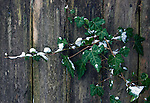 Winter scenes of snow covered English Ivy.  Jim Bryant Photo. ©2014. All Rights Reserved.