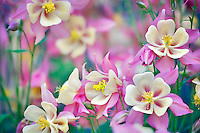 Close up of Columbine (Swan Pink and Yellow) . Oregon