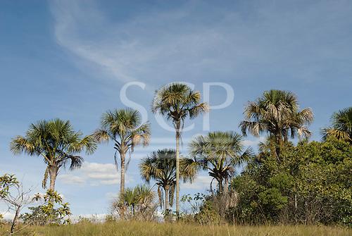 Brasilia, Brazil. Chapada Imperial, private cerrados reserve visitor centre. Buriti palm (Mauritia flexuosa).