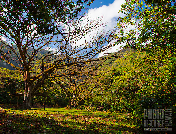 A horse shelter in the midst of numerous big trees in lush Waipi'o Valley, Big Island.