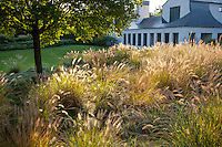 Grass garden meadow with flowering seed heads of Fountain Grass, Pennisetum alopecuroides front yard of midwest home
