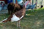 Burbon Red Turkey