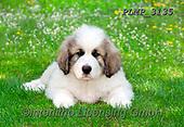 Marek, ANIMALS, REALISTISCHE TIERE, ANIMALES REALISTICOS, dogs, photos+++++,PLMP3135,#a#, EVERYDAY