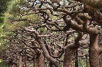 Detail of the artfully sculpted pine trees at Ritsurin Koen, Takamatsu, Japan.