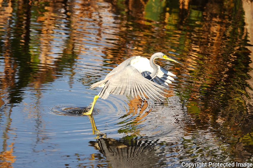 Colorful water reflections of surrounding foliage surrounding a blue heron beginning flight. Photographed at Wakodahatchee Wetlands, Delray Beach, Florida.