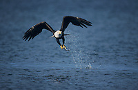 Bald Eagle, Haliaeetus leucocephalus,adult in flight with fish, Homer, Alaska, USA, March 2000