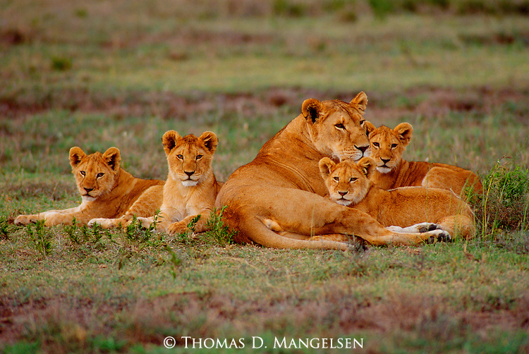 Female lion and her cubs rest on the savannah in Serengeti National Park.