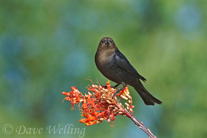 512460017 a wild male brown-headed cowbird molothrus ater perches on a flowering ocotillo plant foqueria splendens in green valley arizona united states