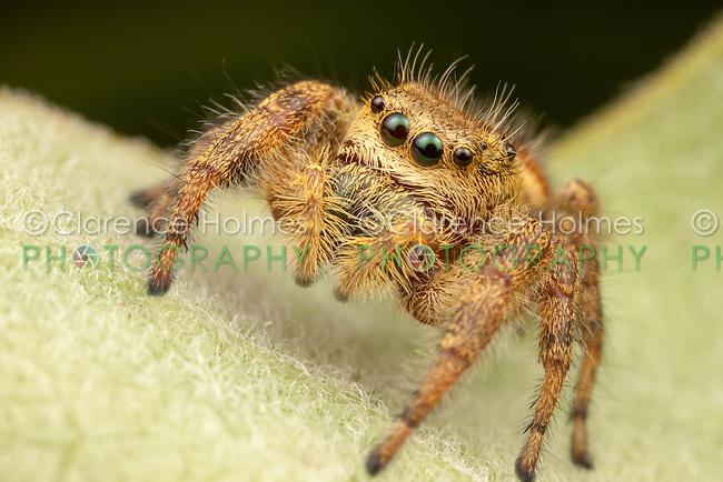 Jumping Spider (Phidippus clarus) - Female, Ward Pound Ridge Reservation, Cross River, New York