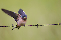 Barn Swallow (Hirundo rustica erythrogaster), American subspecies, juvenile with wings raised waiting on a barbed wire fence for food from it's parent.
