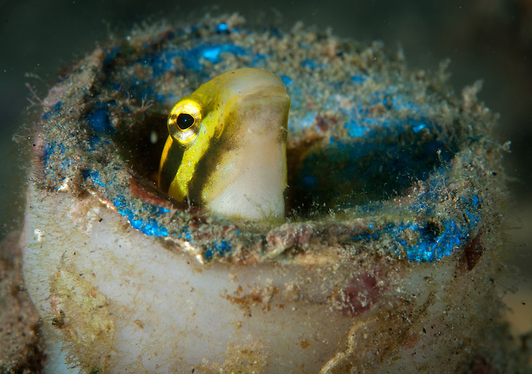 shorthead sabretooth (fang) blenny: Petroscrites breviceps, peering from a discarded plastic bottle, Gorontalo, Indonesia