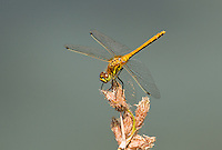 362690012 a wild female black meadowhawk sympetrum danae perches on a dead flower stalk at river springs mono county california