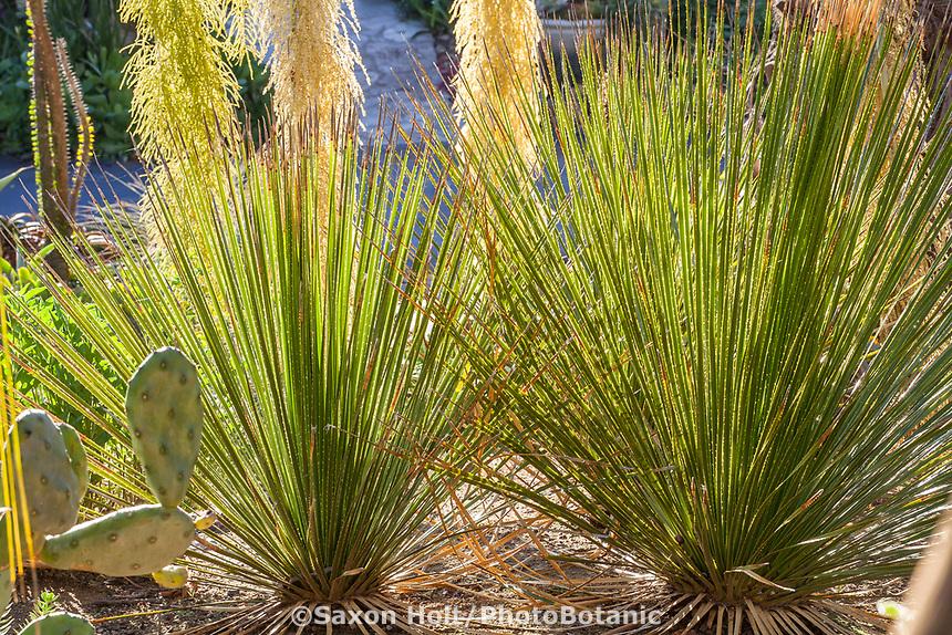 Dasylirion palmeri Dasylirion cedrosanumor; Desert Spoon, Sotol, backlit cactus Patrick Anderson Garden