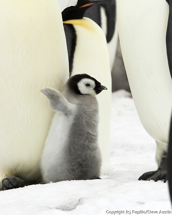Emperor penguin, Aptenodytes forsteri, chick with parent, Snow Hill Island, Erebus and Terror Gulf, Antarctic Peninsula, Antarctica. Emperor penguin, Aptenodytes forsteri, chick with parent, Snow Hill Island, Erebus and Terror Gulf, Antarctic Peninsula, A