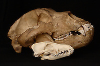 Kodiak bear skull (Ursus arctos middendorffi) shown with a coyote skull (Canis latrans) for scale.