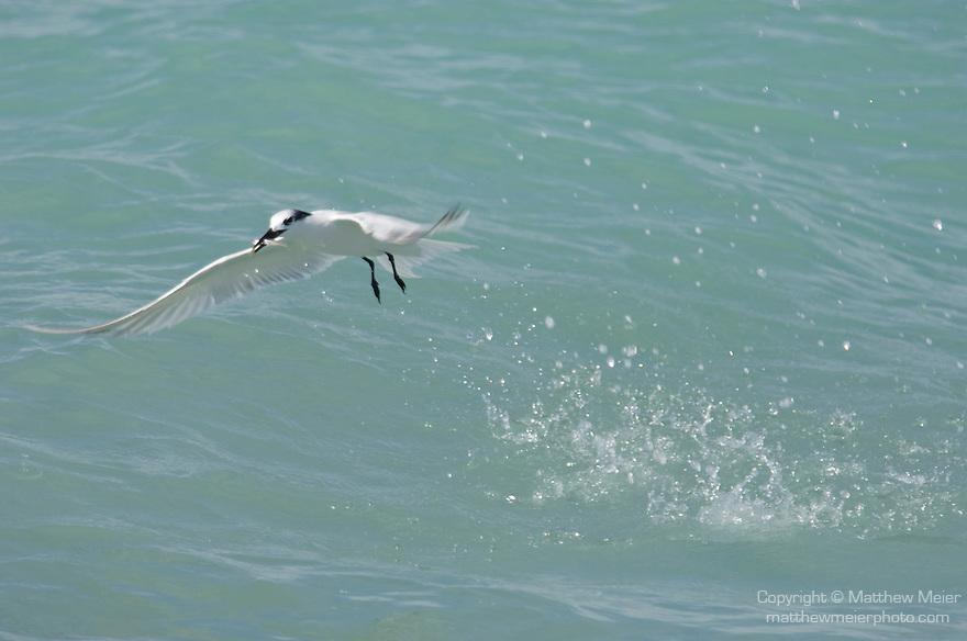 Captiva Island, Florida; a Sandwich tern (Sterna sandvicensis) bird, flies off with a bait fish, caught in the shallow water near shore © Matthew Meier Photography, matthewmeierphoto.com All Rights Reserved