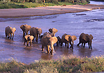 African elephants crossing the Uaso Nyivo River at Samburu NP in Kenya
