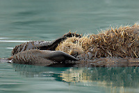 Sea Otter (Enhydra lutris) pup sleeping on mom's tummy.