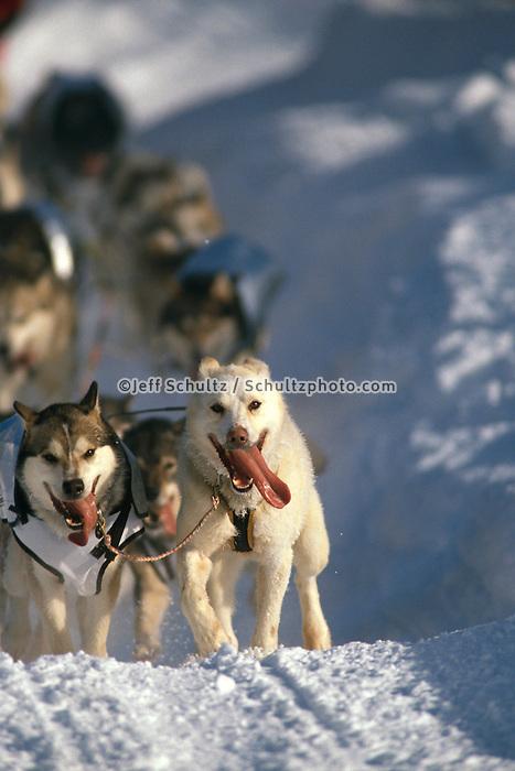 Iditarod lead sled dogs run .1996 Iditarod Race Alaska