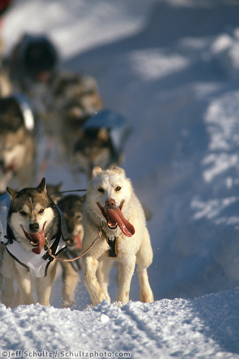 Iditarod lead sled dogs run .1996 Iditarod Race Alaska