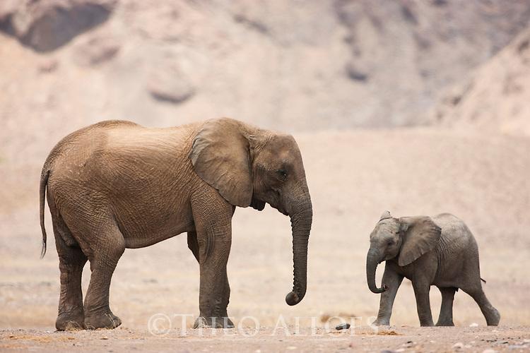 Namibia;  Namib Desert, Skeleton Coast,  desert elephant  (Loxodonta africana) female with calf