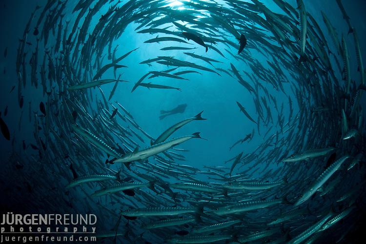 Schooling barracudas (Sphyraena putnamiae)