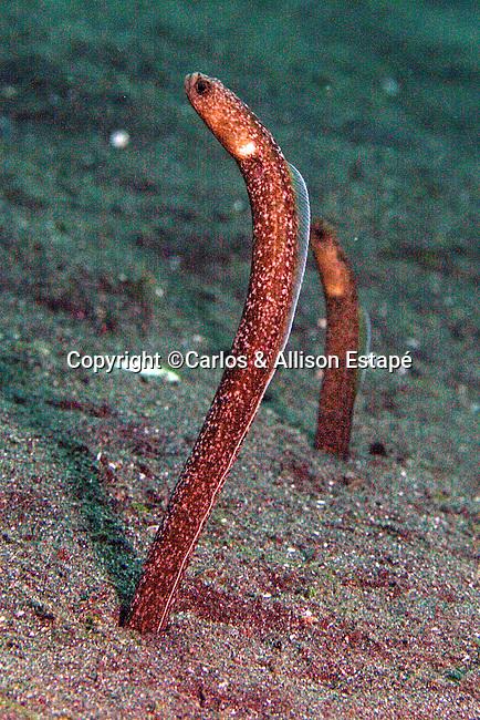 Heteroconger perissodon, Many-toothed garden eel, Lembeh, Indonesia