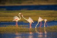 Greater Flamingos (Phoenicopterus roseus) Serengeti National Park, Tanzania.
