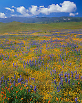Carrizo Plain National Monument, CA:  Expansive field of miniature lupine, goldfields and California poppies with Caliente Range in the distance