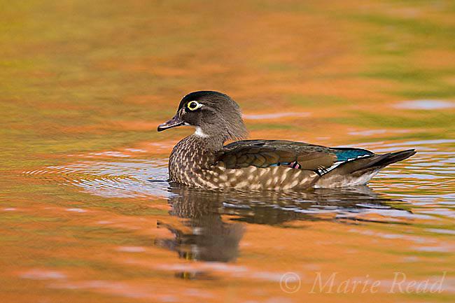 Wood Duck (Aix sponsa) female swimming in fall color reflection, Ohio, USA