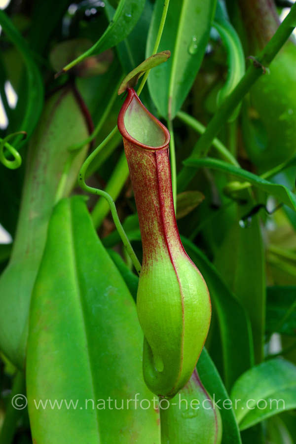 Kannenpflanze, Nepenthes spec., Kannenpflanzengewächse, Nepenthaceae, tropical pitcher plants