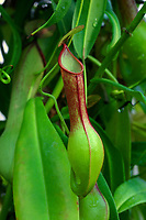 Kannenpflanze, Nepenthes spec., Kannenpflanzengewächse, Nepenthaceae, tropical pitcher plants