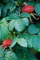 Rimpelroos (Rosa rugosa)