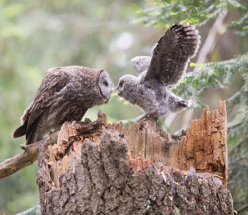 A female Great Gray Owl returns to the nest to keep her nestling warm and dry.  Great Gray Owl nest in rotted out broken topped snags that take more than a hundred years to form. (near Ashland, Oregon USA) (unbaited)