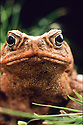 Cane Toad or Giant Toad (Bufo marinus) introduced to Australia.