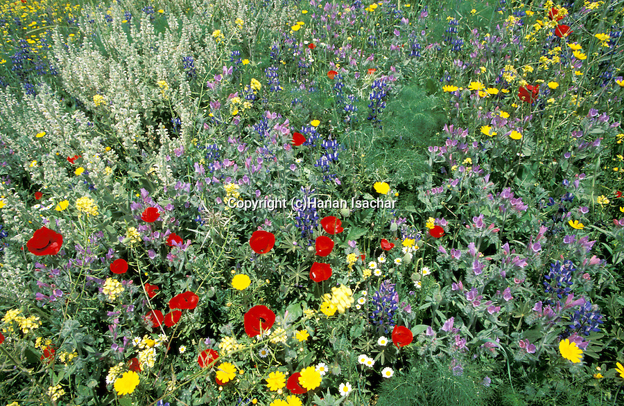 Israel, Ha'ela Valley. Springtime at Tel Shocha