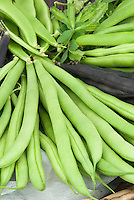 Bean Kentucky Wonder pole beans heirloom variety of vegetable, harvested, with Purple Teepee