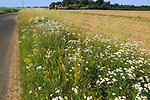 Wildflowers roadside verge of field, Boyton, Suffolk, England