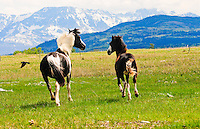 Blackfeet horses.