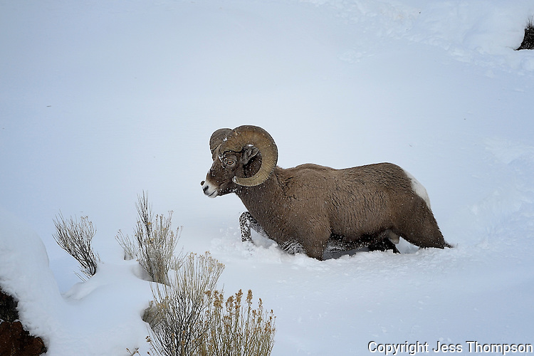 Bighorn Ram belly deep in snow, Cody, Wyoming