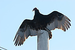 Turkey vulture warming on pole