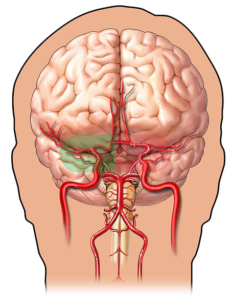 Anatomical Content Head and Neck Brain anterior carotid