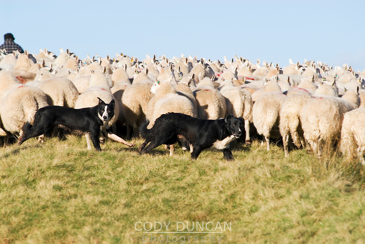 Two working dogs herding sheep in Wales